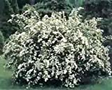 Spiraea Halward's Silver, White Flowering Shrub, (Quart)