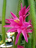 Rare Rattail Cactus - Aporocactus - Very Easy to Grow - 4'' Hanging Basket Pot from jmbamboo