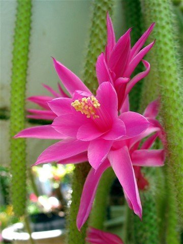 Rare Rattail Cactus - Aporocactus - Very Easy to Grow - 4'' Hanging Basket Pot from jmbamboo by JM BAMBOO