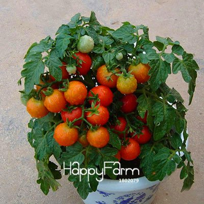Shopmeeko Hot Sale!Beautiful Yellow Pear Tomato Bonsai, Potted Organic Vegetable Fruit Tomato Plants for Home Garden 100 Pcs/Bag, HY5N1C: 18 (Tomato Plants Pear)