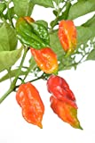 "Clovers Garden Ghost Pepper Plants - NON-GMO - Two (2) Live Plants – Not Seeds , Premium Non-GMO , Bhut Jolokia , Not Seeds , ea 3-7"" Tall in 3.5"" Pots"