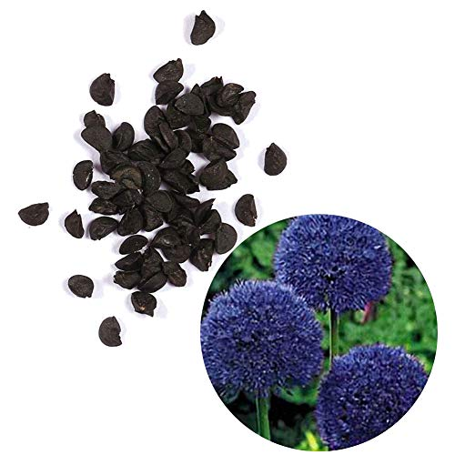 30Pcs Allium Giganteum Seeds Giant Ornamental Flower Home Garden Bonsai Decor - Blue Purple Allium Giganteum Seeds