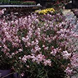 1 Healthy Starter Plant of Gaura Pink Fountains