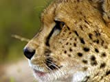 icon 8000 - Africa's Big Cats