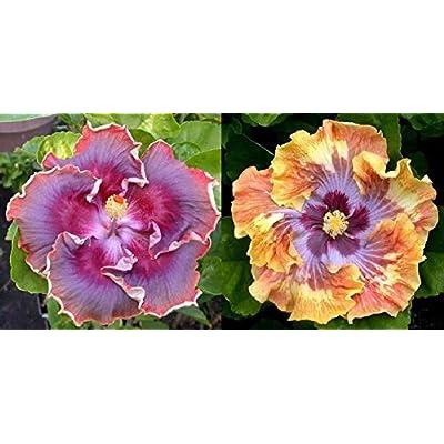 Tropical Hibiscus Seeds Night Runner x Kevin Johnson Rosa-Sinensis 10 Seeds : Garden & Outdoor