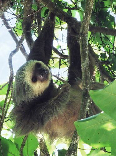 (Two Toed Sloth Costa Rica Poster Photo Animals Wildlife Posters Photos)