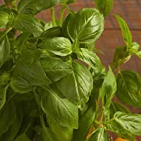 Sweet Basil Genovese 100 Seeds Culinary Herb Vegetable Garden Genovase Italian