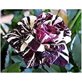 Amazon Com 250 New Rose Seeds 5 Different Colors Rare