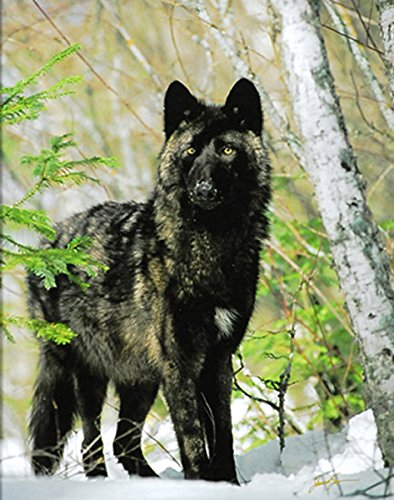 Wolf Wolves Wildlife James Jones Photography Print Picture