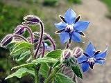 Borage Seeds, Borago Officinalis, NON-GMO, Variety of Sizes 40.000