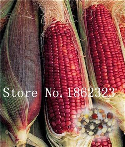GETSO Arco Iris de maíz Dulce Bonsai Vegetal Furit Orgánica Fácil ...