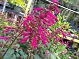 1 Very Gorgeous Salvia 'Wendy's Wish' 4 inch - Live Plant
