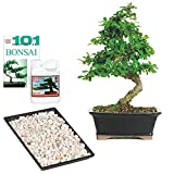 Brussel's Live Fukien Tea Indoor Bonsai Tree Complete Gift Set - 6 Years Old; 6'' to 8'' Tall with Decorative Container, Humidity Tray, Deco Rock, Bonsai Pro Fertilizer & Book