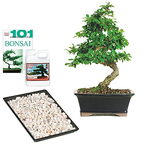 Brussel's Fukien Tea Bonsai - Medium - Complete Gift by Brussel's Bonsai