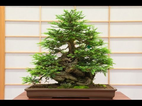 Giant Redwood Bonsai Tree - 12-16 inches Tall - 2-3 Year Old Giant Sequoia Bonsai - Growth Redwood Old