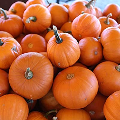 Pumpkin Garden Seeds - Wee-B-Little Variety - Non-GMO, Heirloom - AAS Winner - Vegetable Gardening Seed - Small Miniature Pumpkins