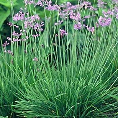 15 Seeds Society Garlic Seeds E113, Heirloom Vegetable Tulbaghia Violacea Seeds : Garden & Outdoor