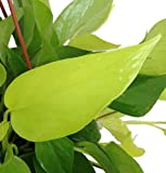 "Hirt's Gardens Very Very Easy to Grow Epipremnum - 4"" Pot Neon Devil's Ivy - Pothos"