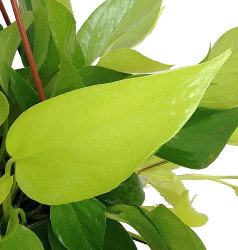 "Epipremnum- 4"" Pot Neon Devil's Ivy-Pothos"