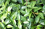 Vinca minor hardy perennial groundcover 10 plants