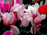 Cyclamen persicum Persian cyclamen Flower Seeds indoor from Ukraine