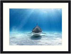 Asommet Tiger Shark - Solid Wood Framed Wall Art Print Picture Home Decor (20x14 inches)