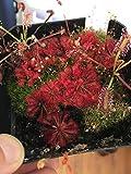 "HIGH Germination Seeds:Drosera Spatulata ""Tamlin"" 25 Seeds - Canivorous Sundew Plant"