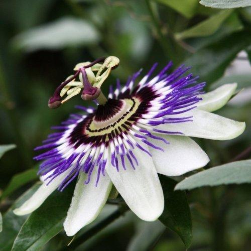 (Rare Passiflora incarnata Maypop 10pcs/bag - Beautiful Passion Vine Fruit Flower Seeds)
