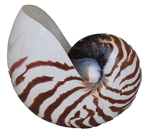All-Natural Tiger Nautilus Shell - 5+ Inch All-Natural Chambered Nautilus Beach Shell (Sugar Cane Mirror)
