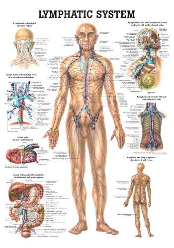 Anatomical Worldwide CH09 The Human Lymphatic System Laminated Anatomy Chart