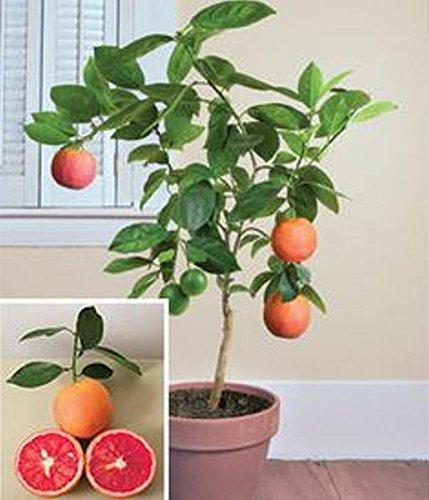 Dwarf Blood Orange Tree - Lulan Miniature Moro blood orange tree 5 seeds