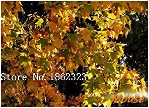 Caliente! 50 piece Las semillas de arce 2016 Nuevo Jardín Flores Cuatro temporada de siembra de las semillas de flor del Mundo raro para Jardín