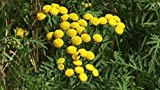 """TANSY, Tanacetum vulgare, Insect Repellant, Herb, Live Plant 4"""" Pot"""