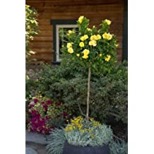 "20+ ""DWARF"" YELLOW ""TREE ROSE"" Seeds"