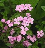 Seedville Saponaria Ocymoides Rock Soapwort Flowers - 500 Seeds