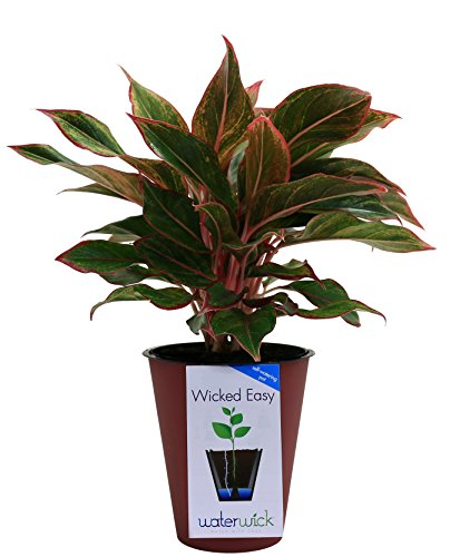 Plant Chinese Evergreen (Costa Farms Siam Red Colorful Aglaonema (Chinese Evergreen) Live Indoor Plant in Self-Watering Waterwick Planter, Rosewood)