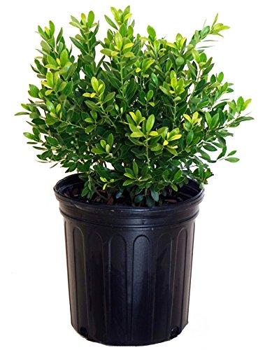 Ilex glabra 'Densa' (Inkberry Holly) Evergreen, #2 - Size Container