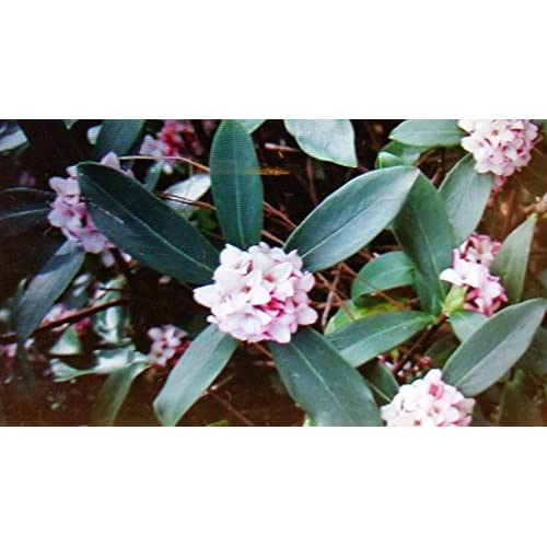 Hot (1 Gallon) Daphne odora, Pink, Most Exotic Fragrant Flowers in Winter,(FALL/WINTER BLOOMING) extremely fragrant pink blooms from jan-march, Daphne is a gorgeous shade plant for winter blooms, for sale