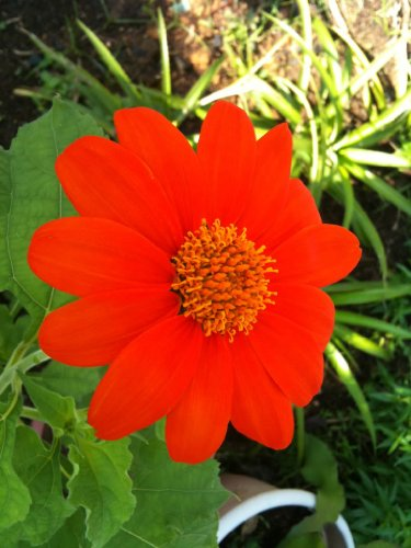 (50 MEXICAN SUNFLOWER 'TORCH' Tithonia Rotundifolia Flower Seeds)