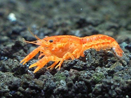 1 ORANGE CPO Dwarf Mexican Crayfish/Mini Lobster (Cambarellus patzcuarensis) -...