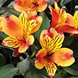 100 Seeds Alstroemeria seeds Peruvian Lily Alstroemeria Inca Bandit Princess lily 1#32797312637ST