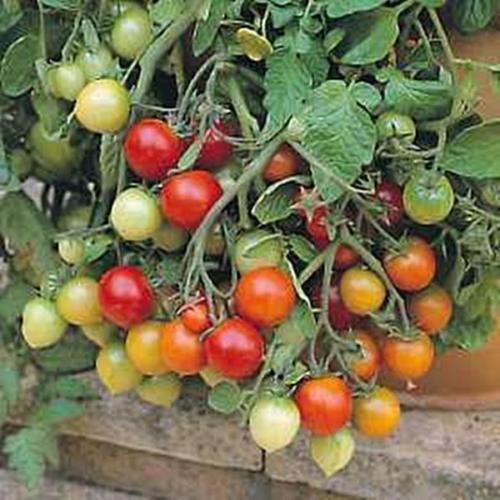 Tumbler Tomato Seed