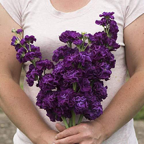 - David's Garden Seeds Flower Stock Iron Purple SL3570 (Purple) 50 Non-GMO, Open Pollinated Seeds