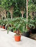 Baumfreund Xanadu 90-110 cm im 32 cm Topf robuste Zimmerpflanze für Hell-Halbschatten Philodendron 1 Pflanze