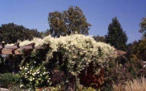Silver Lace Vine - Polygonum (FALLOPIA) AUBERTII - Starter Plant