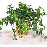 Poudha.com English Ivy Green Live Plant Indoor Live Plant