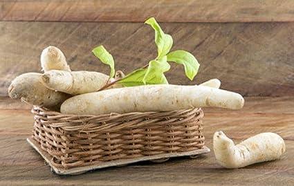 Andina - planta de la zanahoria Arracacha - arracacia ...