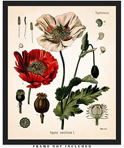 Vintage Opium Poppy Wall Art Print: Unique Room Decor for Men & Women - (8x10) Unframed Picture - Great Gift Idea