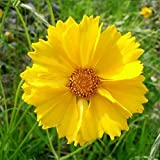 David's Garden Seeds Flower Coreopsis Lance Leaf SL1544 (Yellow) 500 Non-GMO, Open Pollinated Seeds