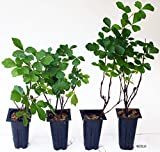 "Rhus aromatica Gro-Low Package of 4 plants in 2.5"" pots"
